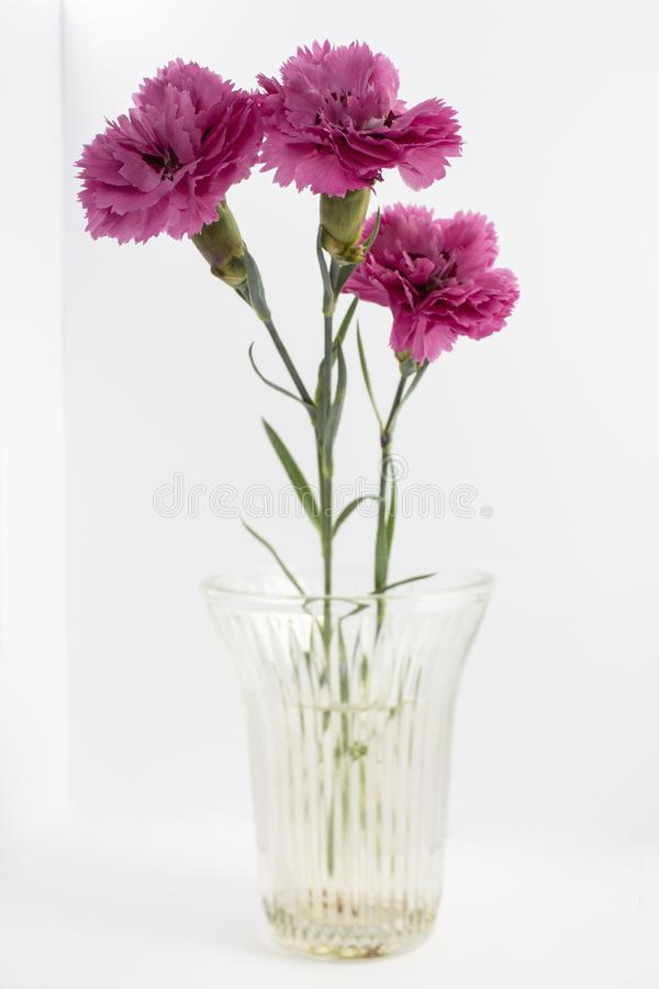 Red dianthus in a glass vase on white background. Red dianthus in a transparent glass vase on white background stock photos