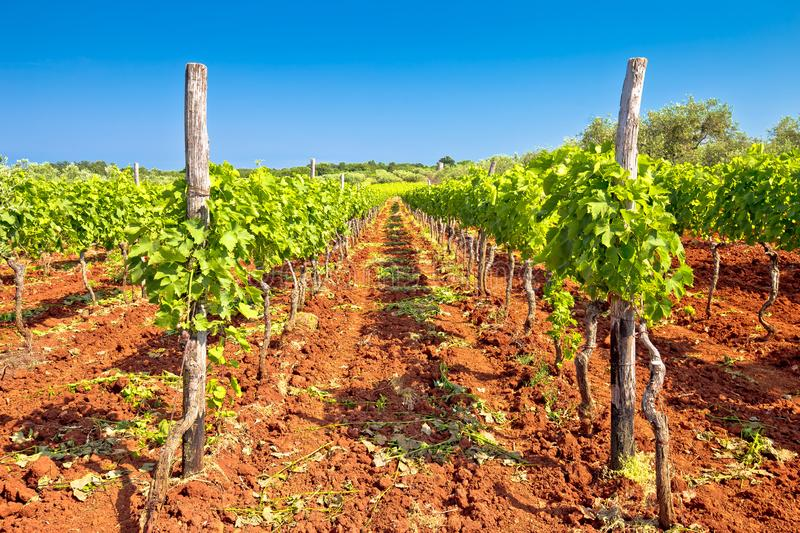 Red dirt istrian vineyard and green landscape view stock photo