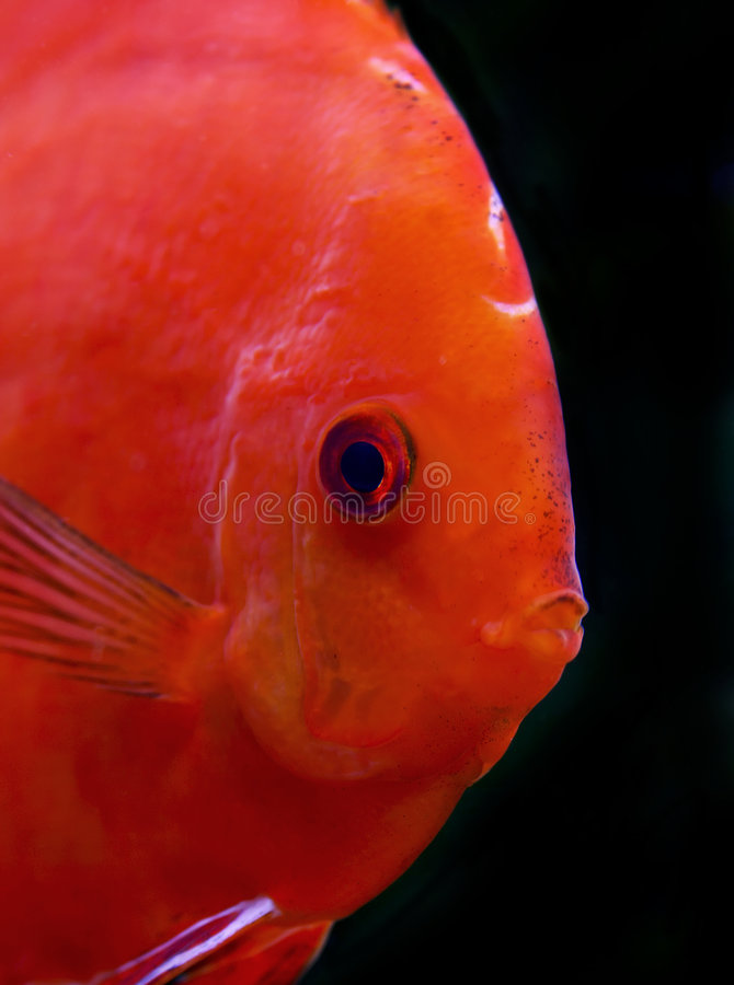 Red discus fish royalty free stock image