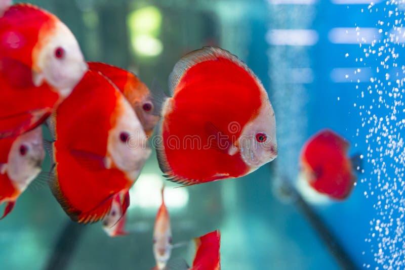 Red Discus Fish. Group of red ornamental discus fish in the aquarium stock photo