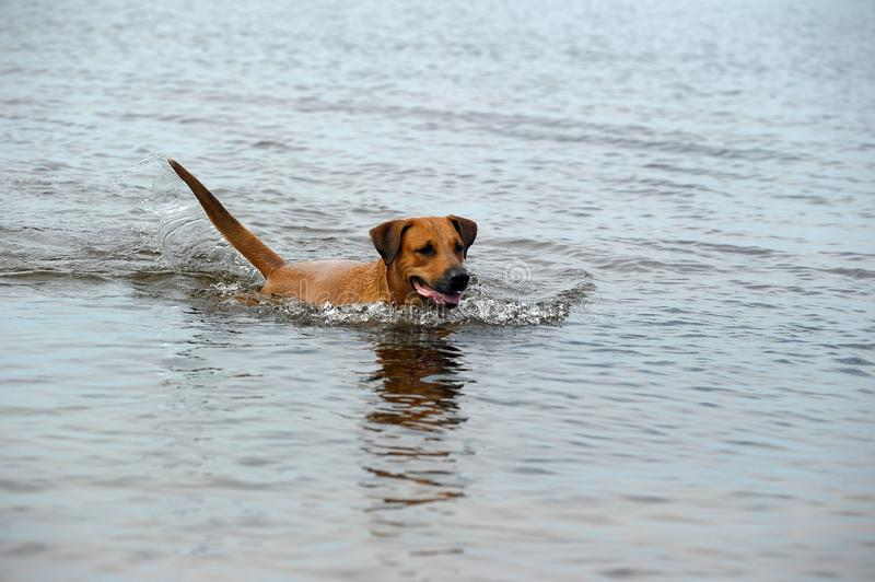 Red dog bathes in the water. In the lake royalty free stock image