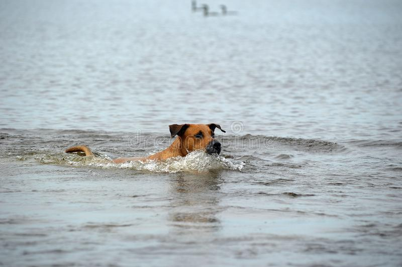 Red dog bathes in the water. In the lake stock images