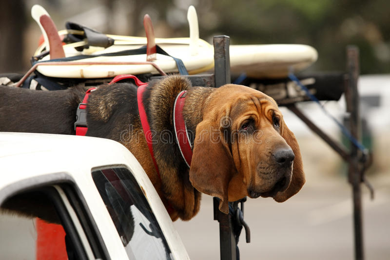Red dog in car. Red dog Bloodhound in car stock photography