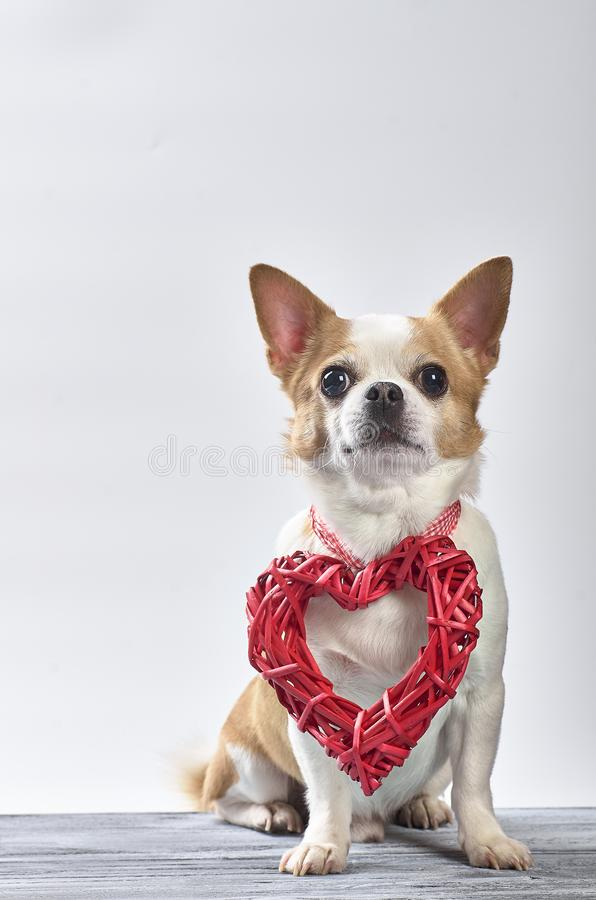 Red chihuahua dog with white on a wooden background stock photos