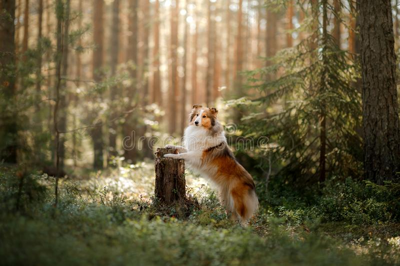 Red dog in the woods. Fluffy sheltie in nature. Red dog in the forest. Fluffy sheltie in nature royalty free stock photo
