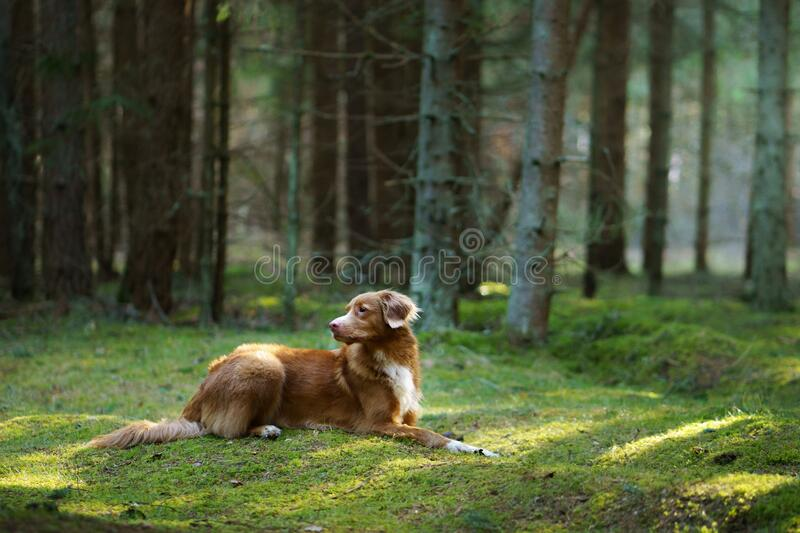 Red dog in forest. Nova Scotia Duck Tolling Retriever in nature. Walk with a pet royalty free stock photography