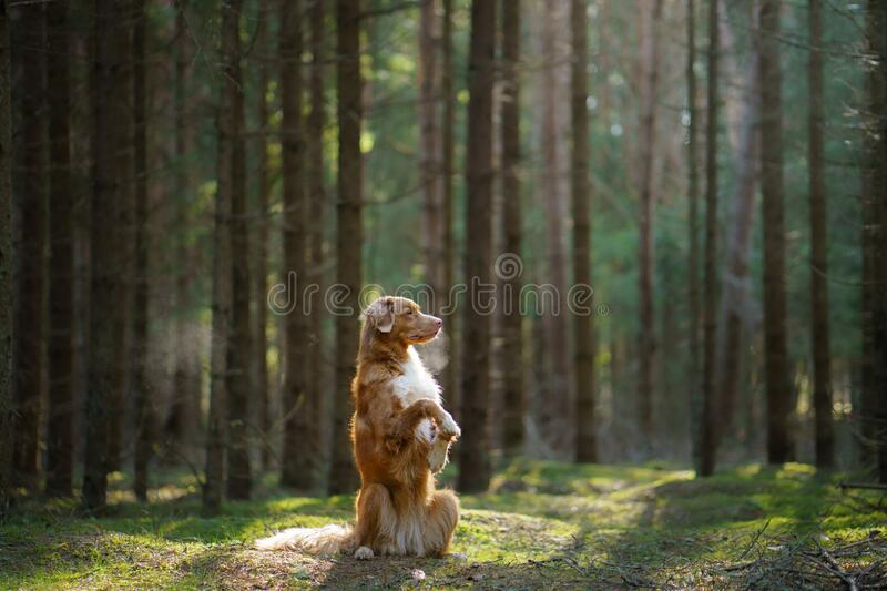 Red dog in forest. Nova Scotia Duck Tolling Retriever in nature. Walk with a pet royalty free stock image