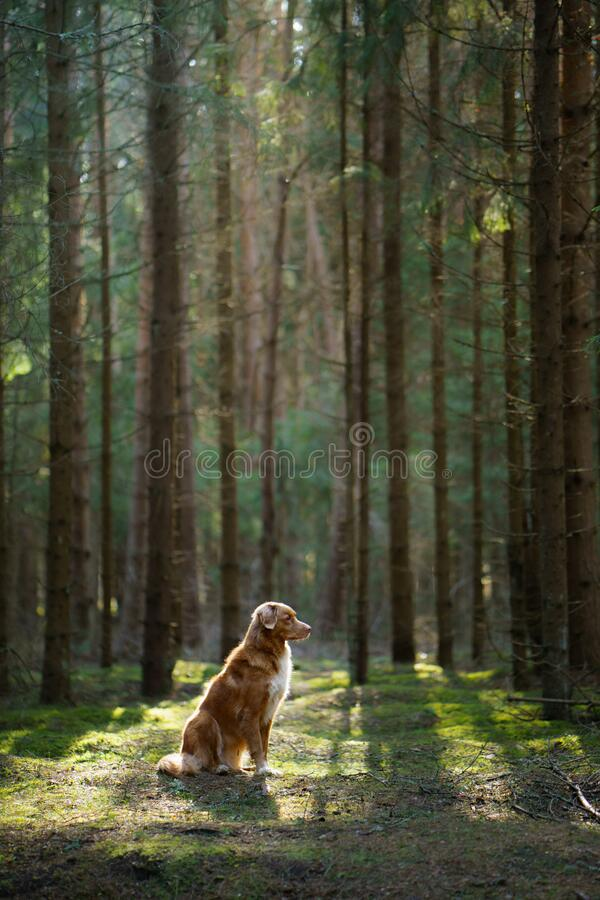 Red dog in forest. Nova Scotia Duck Tolling Retriever in nature. Walk with a pet stock images