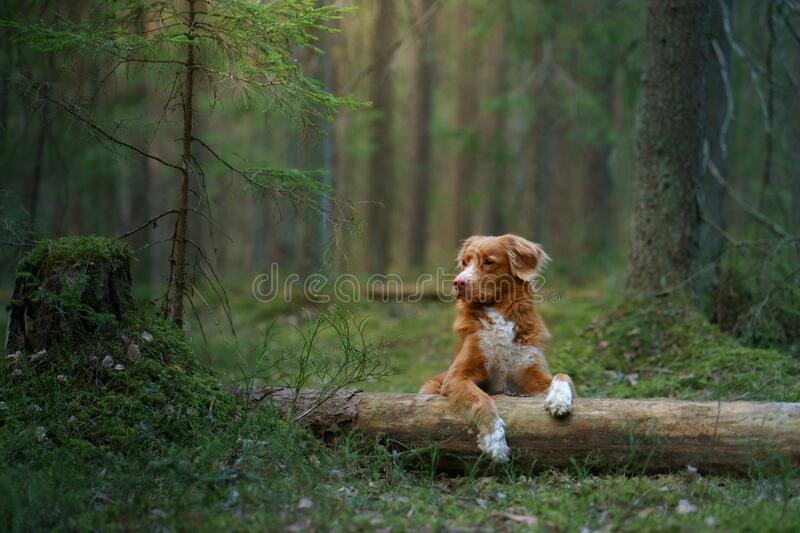 Red dog in forest. Nova Scotia Duck Tolling Retriever in nature. Walk with a pet stock photo