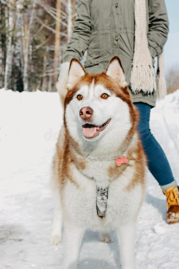 Red dog husky with his mistress brunette girl in the forest outdoors in cold season. Red dog husky with his mistress brunette girl in the forest outdoors in the royalty free stock photos