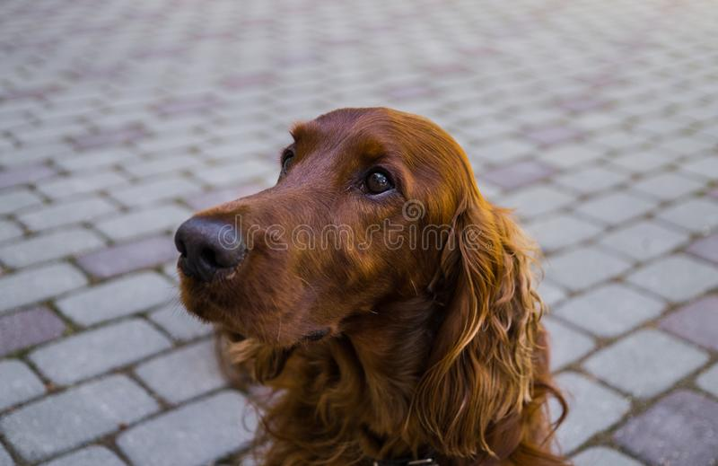 Red dog Irish Setter looks closely that they will tell her.  stock photo