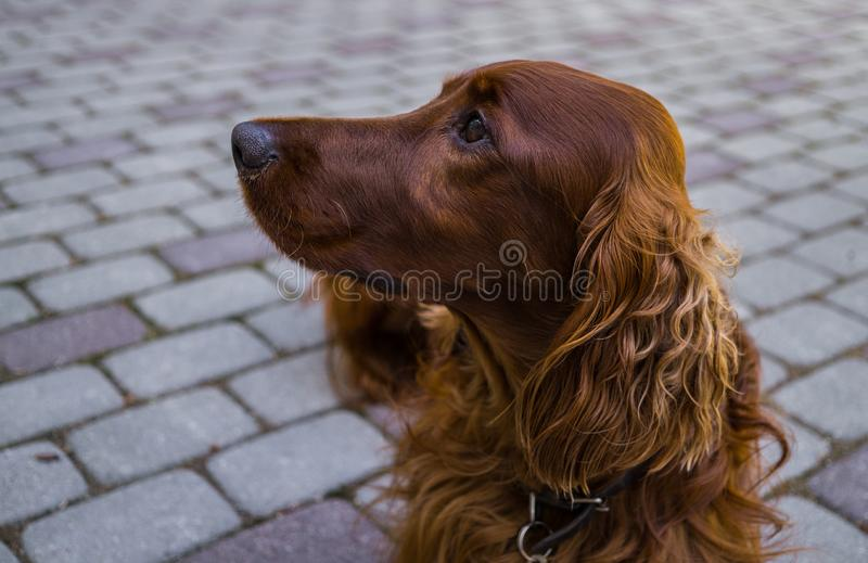 Red dog Irish Setter looks closely that they will tell her.  royalty free stock photography