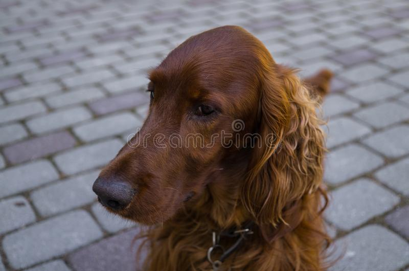 Red dog Irish Setter looks closely that they will tell her royalty free stock photography