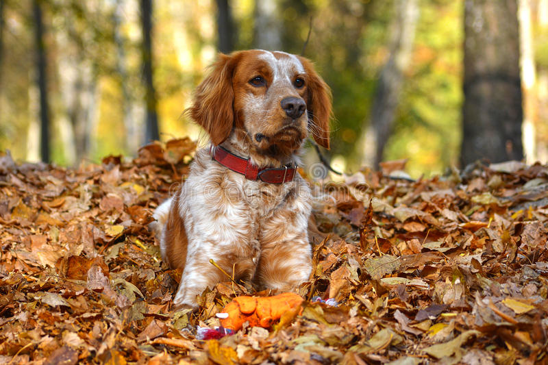 Red dog is lying in the leaves royalty free stock images