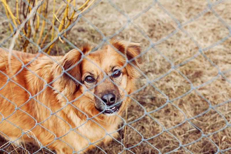 Red dog pooch with sad eyes behind wire mesh royalty free stock images