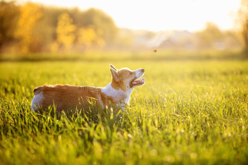 Dog puppy Corgi fun running on a green meadow and jumping over a flying butterfly in a summer meadow in the grass. Red dog puppy Corgi fun running on a green royalty free stock photos