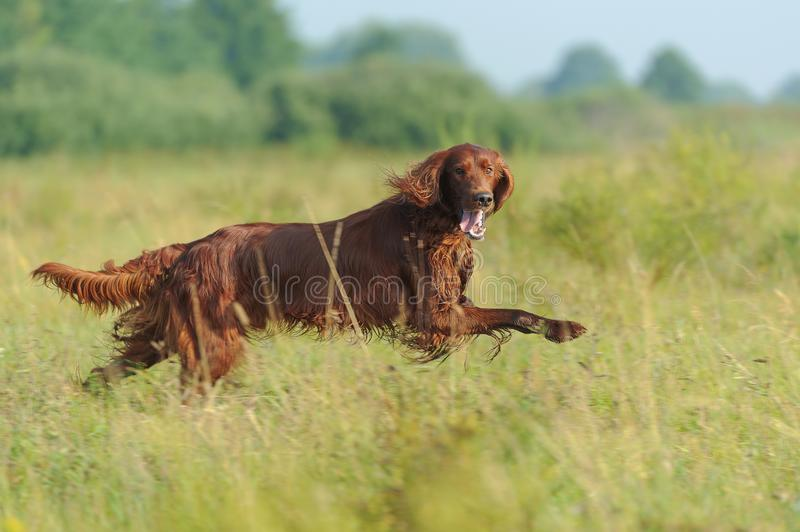 Red dog running against background green grass royalty free stock images