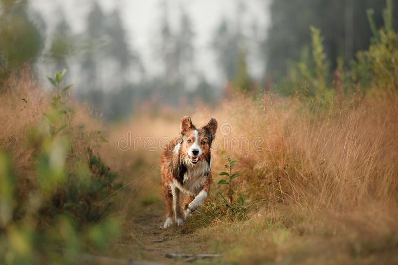 Red dog running in the field. Border Collie on the nature of the morning playing. Walking with pets, active, healthy royalty free stock images