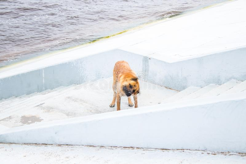 Red dog shaking off the water, twisting himself. On the steps near the river stock photography