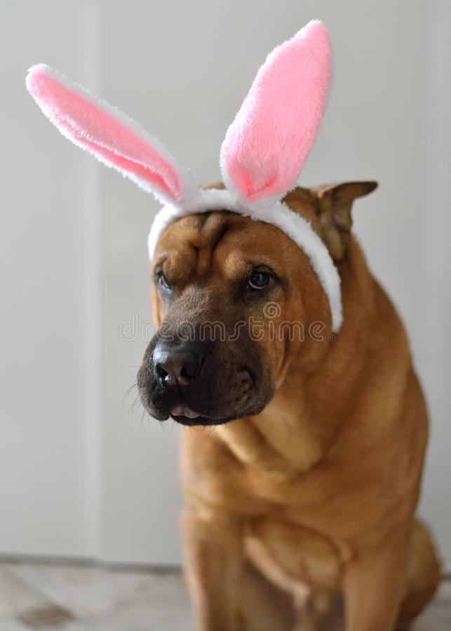Red dog Shar Pei with pink bunny ears on his head, dressed up as an Easter bunny. royalty free stock image