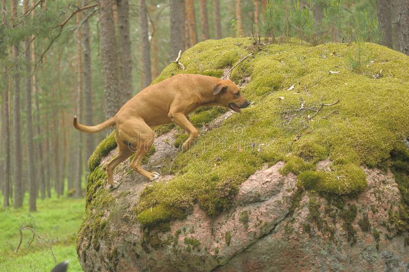 Dog on stones in the forest royalty free stock image