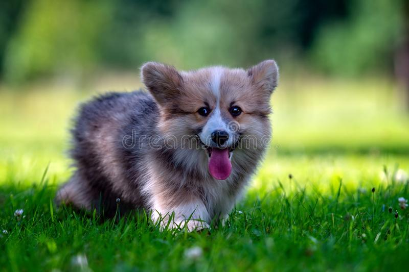 Red dog welsh corgi pembroke  puppy running in the green grass - image royalty free stock image