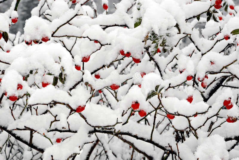Red dogrose berries with snow stock image