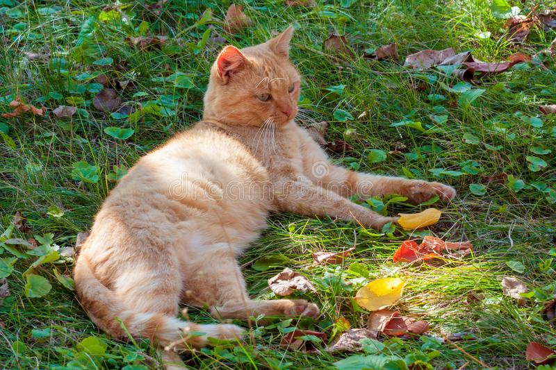 Red domestic cat. Lying on the green grass stock image