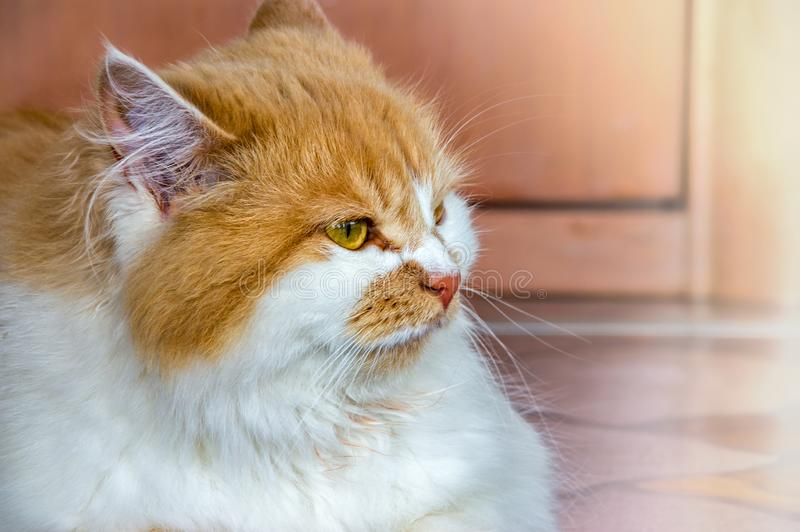 Red domestic cat. Red-haired domestic cat with green eyes close-up royalty free stock photography