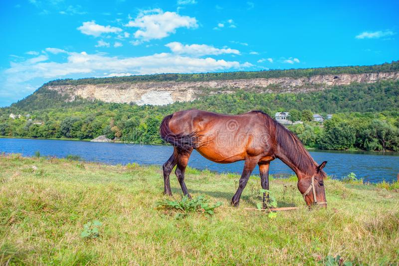 Red domestic horse. Grazing grass near river royalty free stock image