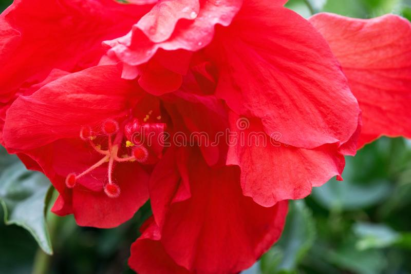 Red, Double Hibiscus Bloom Macro royalty free stock photo