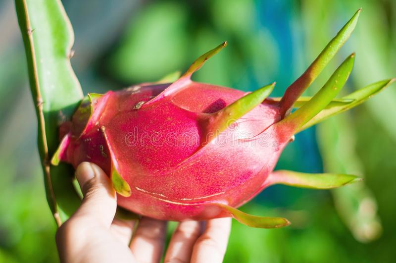 Red dragon fruit royalty free stock photos