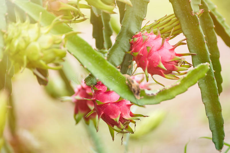 Red dragon fruit on plant in Nakhon Pathom, Thailand. royalty free stock photography