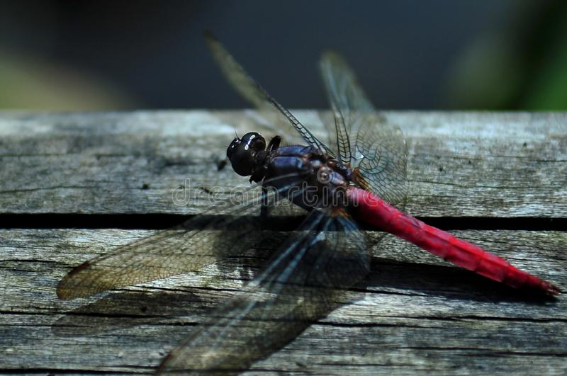 Red dragonflies on the wooden floor royalty free stock photos