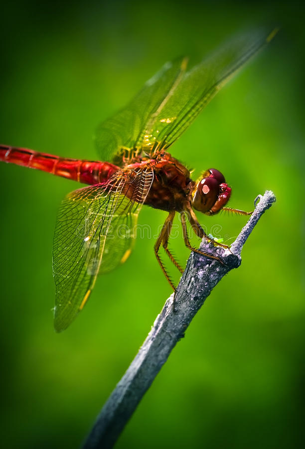 Free Red Dragonfly Stock Photography - 10608482