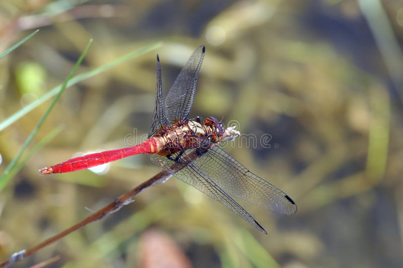Download Red Dragonfly Royalty Free Stock Photo - Image: 12002345