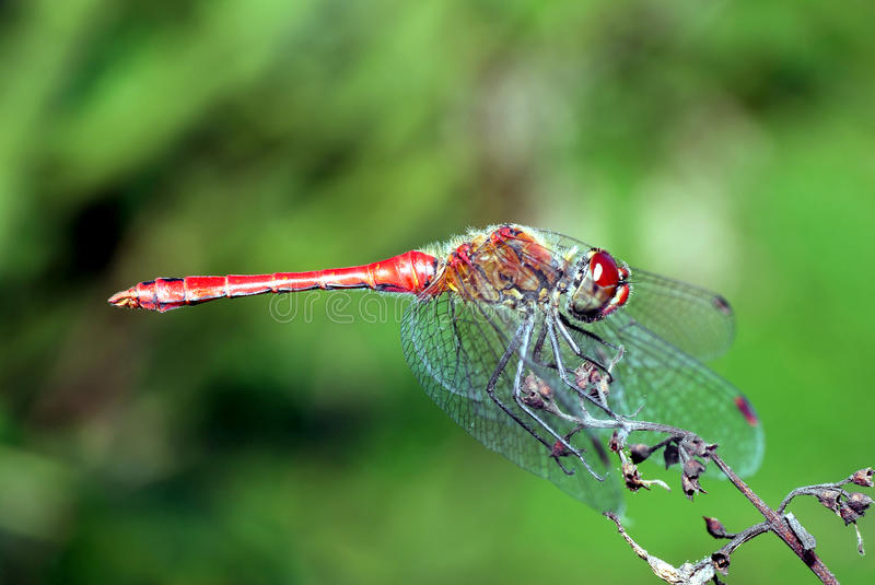 Red Dragonfly. Royalty Free Stock Photos