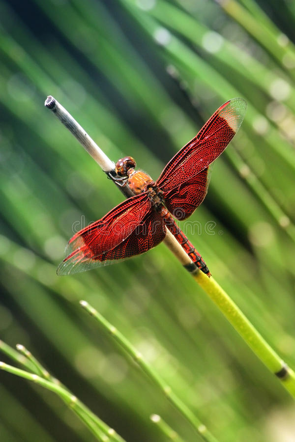 Free Red Dragonfly Royalty Free Stock Images - 16147019