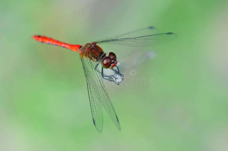 Download Red dragonfly stock image. Image of insect, closeup, close - 17298475