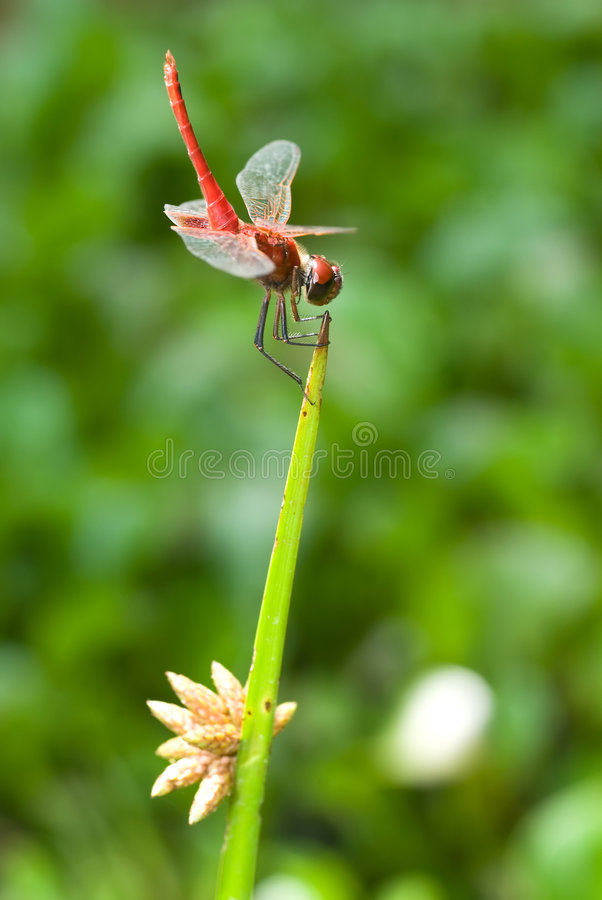 Free Red Dragonfly Stock Image - 3890191