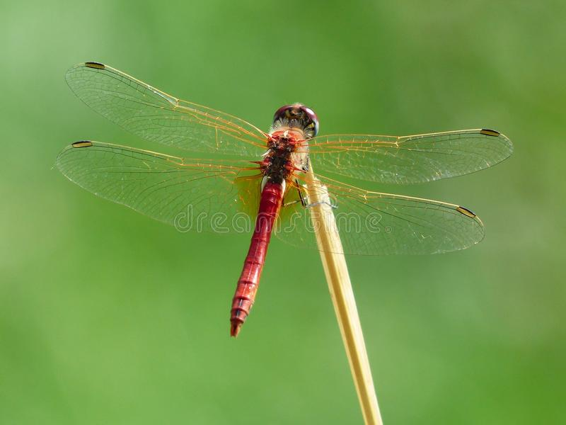 Red Dragonfly On Brown Twig Free Public Domain Cc0 Image