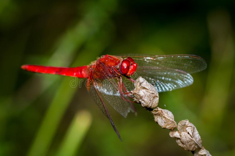 Red Dragonfly close up stock image