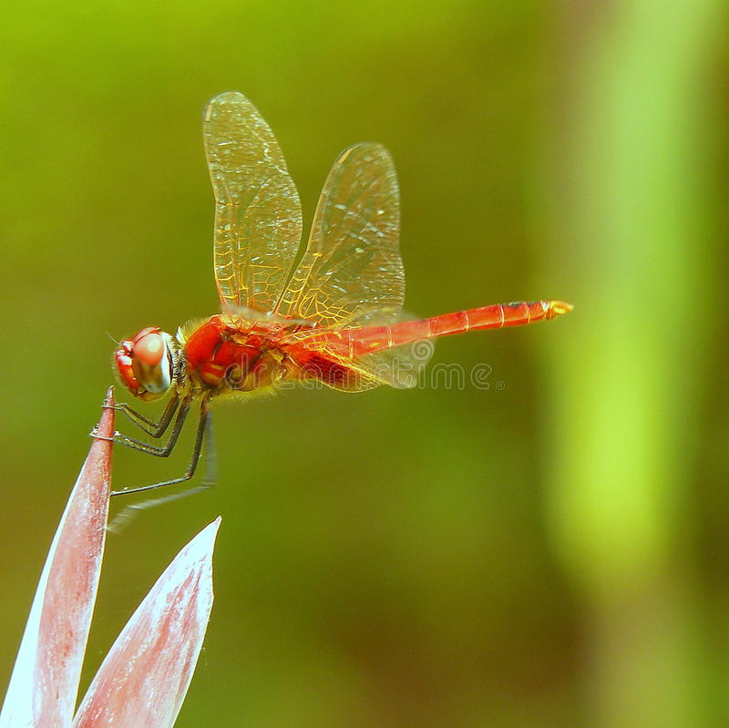 Red Dragonfly stock images