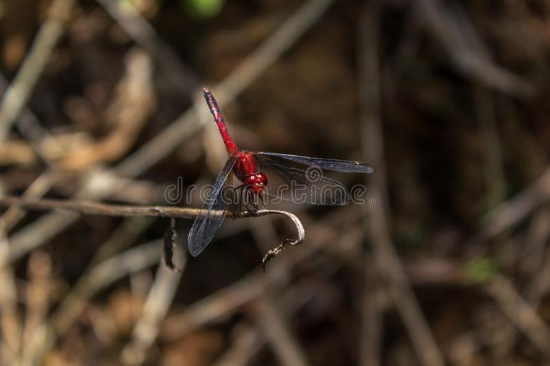 Red dragonfly. This genus includes large species, usually with remarkable colors stock photography