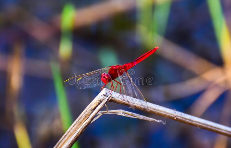 Red dragonfly on the grass, blurred background royalty free stock photos