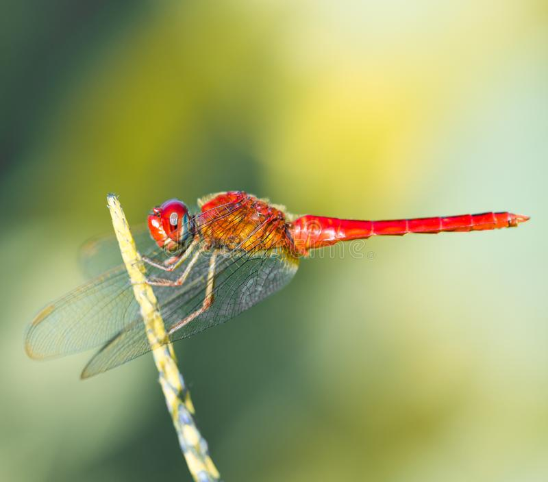 Red dragonfly isolated on flower stem hovering royalty free stock photos
