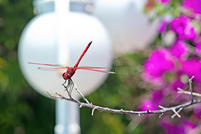 The red dragonfly. On the lamp white background royalty free stock photo