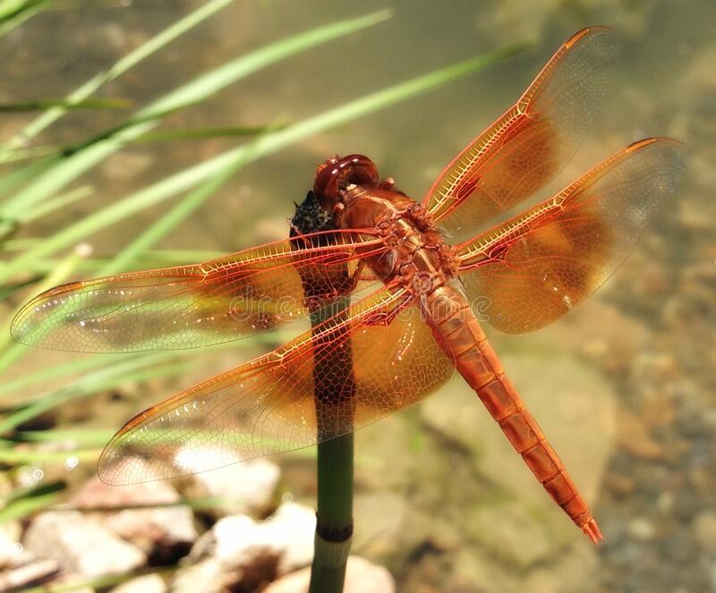 Red Dragonfly on Leaf royalty free stock photo