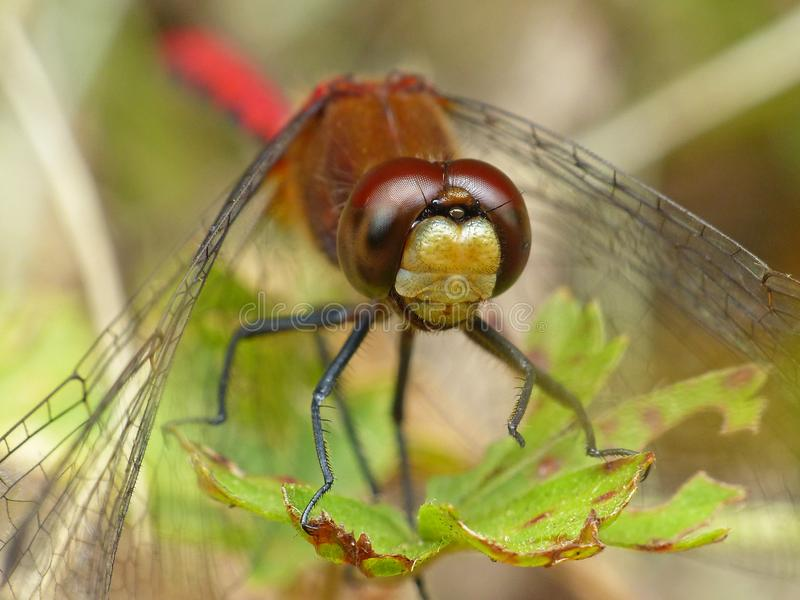 Red Dragonfly On Leaf 2 royalty free stock images