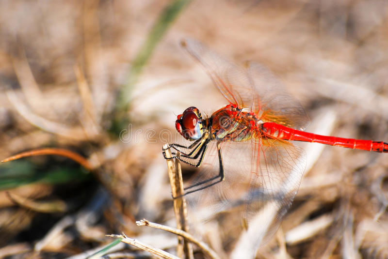 Red dragonfly. Macro image. Dragonfly on stick stock photo